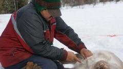 Un innu éviscère un caribou.
