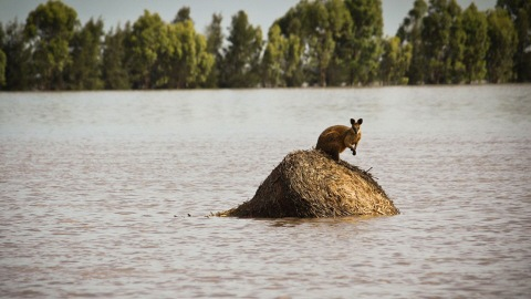 http://img.src.ca/2011/01/05/480x270/PC_110105australie-kangourou-inondation_8.jpg