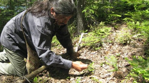 Un shaman algonquin cueille des plantes à Kokomville, Québec