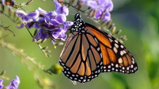 Ce papillon migrateur revient nous voir au printemps ici dans l'est du Canada entre la fin avril et la mi-mai. C'est depuis toujours un visiteur coloré et favori des Canadiens.