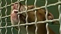 Pitbull en cage
