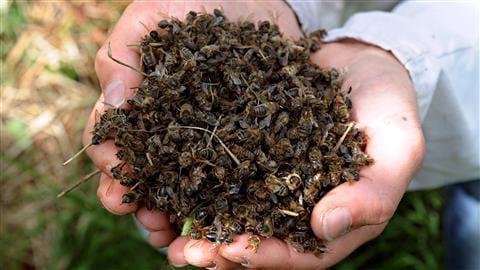 L'INRA prouve l'influence d'un insecticide sur le déclin des abeilles