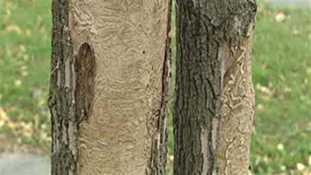 Des arbres atteints par l'agrile du frêne