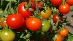 Les tomates sont faciles à faire pousser.