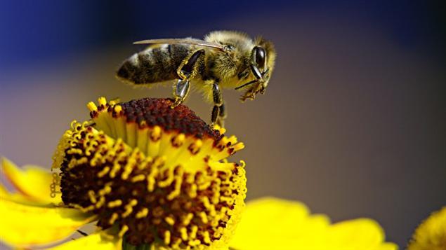 comment les abeilles vitent elles les obstacles ici radio. Black Bedroom Furniture Sets. Home Design Ideas