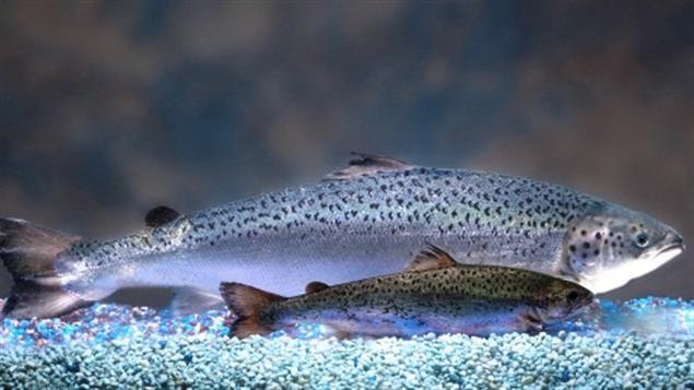 Comparaison d'un saumon génétiquement modifié et d'un saumon de l'Atlantique du même âge.