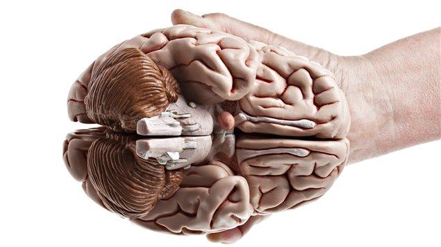 Coupe transversale du cerveau. <i>Photo : iStock</i>