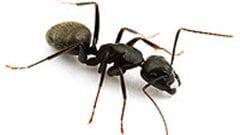 les fourmis charpenti res plus nombreuses en mauricie ici radio. Black Bedroom Furniture Sets. Home Design Ideas
