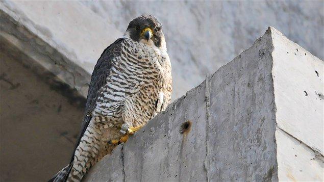 Le faucon pélerin figure sur la liste des espèces vulnérables du Québec.