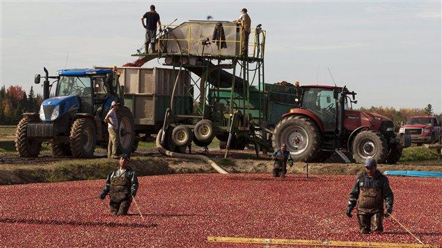 Des agriculteurs québécois récoltent des canneberges.