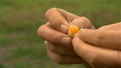La pelure brune de la cerise de terre protège la baie des insectes et des maladies.
