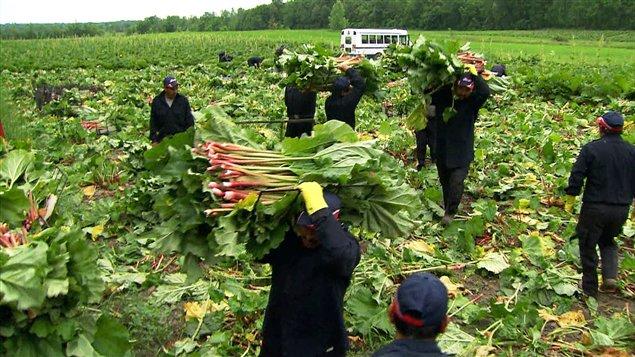 Il n'y a qu'un seul fournisseur de rhubarbe fraiche au Québec, et il peut approvisionner toutes les épiceries.
