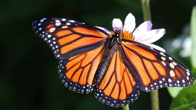 Un monarque