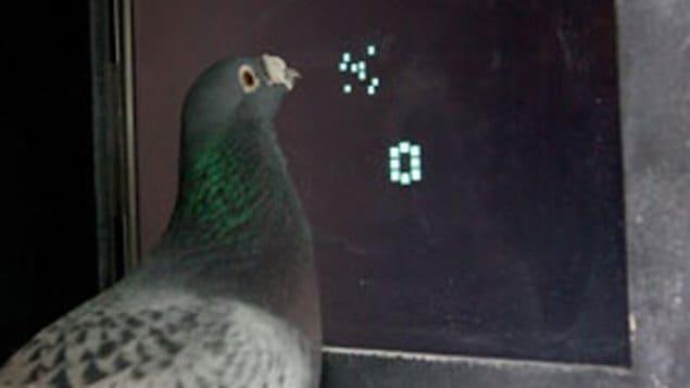 Un pigeon participe à l'expérience