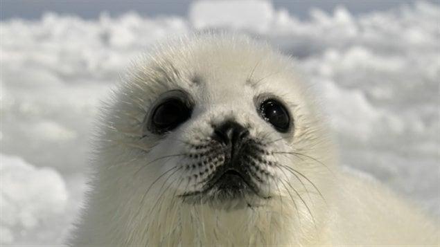 Les bébés phoques victimes de la fonte des glaces