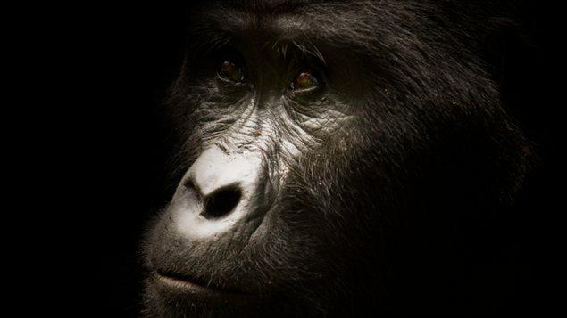 La face d'un gorille