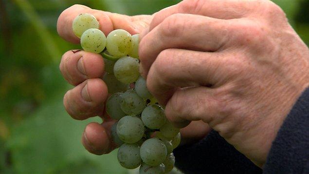 Il existe des raisins de table adaptés au climat québécois.