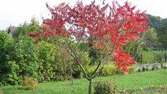 Vinaigrier (rhus typhina)