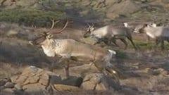 Caribous en Gaspésie