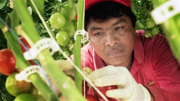 Un travailleur mexicain travaillant sur une ferme canadienne (archives)