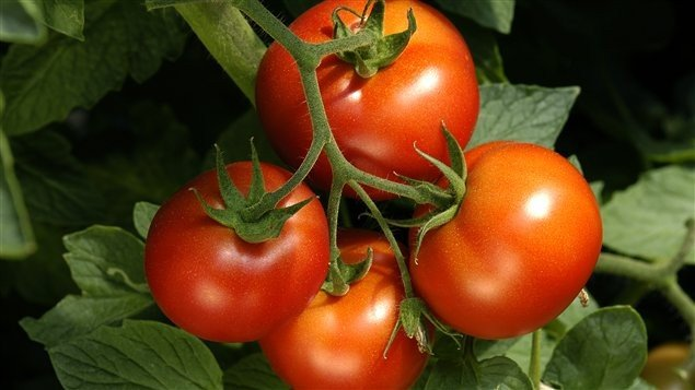 Production de tomates de serres