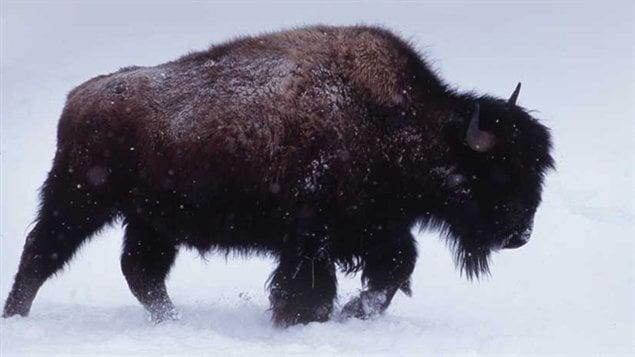 suivre les traces du bison d 39 am rique dessine moi un dimanche ici radio canada premi re. Black Bedroom Furniture Sets. Home Design Ideas