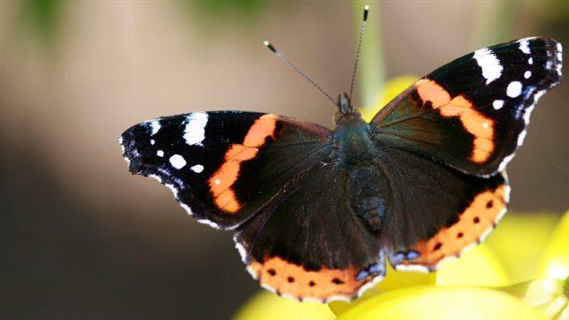 Un papillon vulcain