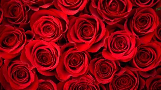 paquet de roses