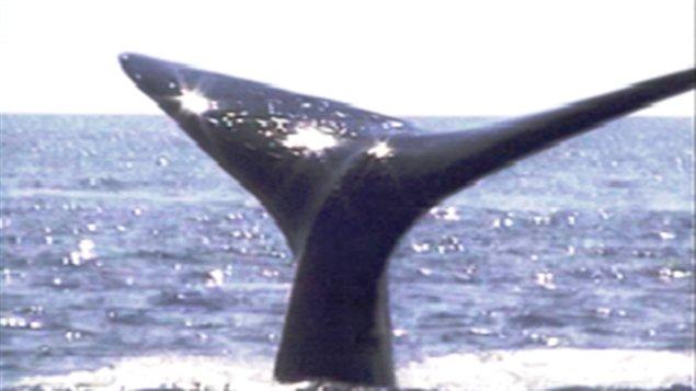 Une baleine franche.