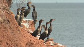 Cormorans