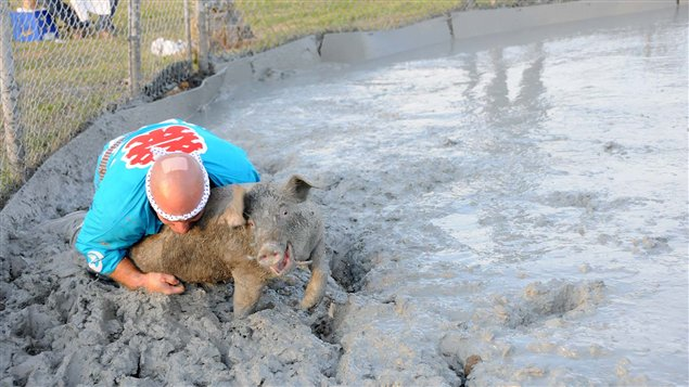 La Course nationale du cochon graiss, l&#39;une des activits du Festival du Cochon de Sainte-Perptue