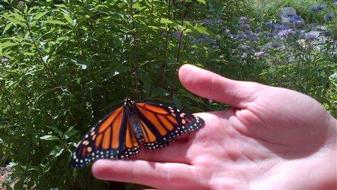 Ce monarque sèche ses ailes avant de s'envoler pour une première fois vers le Nord de l'Ontario