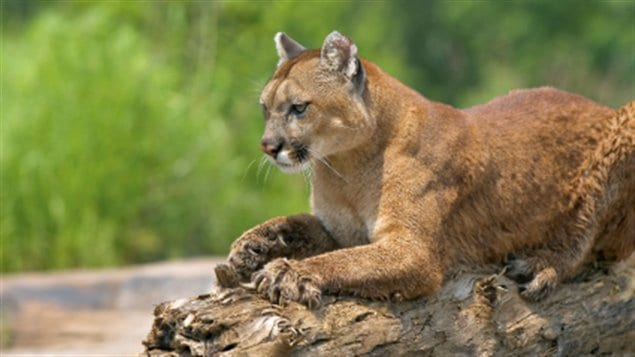 Cougars on the prowl - 4 7