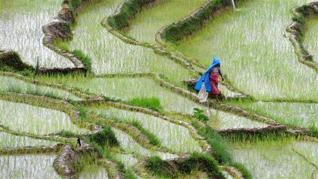 Une Népalaise dans un champ de riz du village de Khokana, près de Katmandou