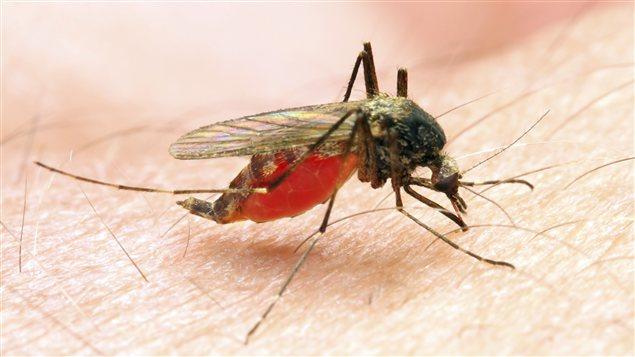 Le virus du Nil occidental se transmet aux humains par les moustiques infectés