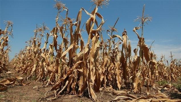 La sécheresse aux États-Unis (maïs)