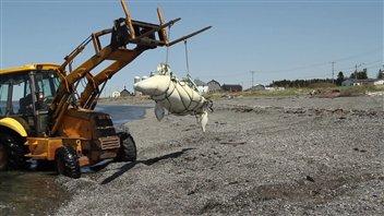 Quinze carcasses de bébés bélugas ont été retrouvées cet été sur les rives du Saint-Laurent.