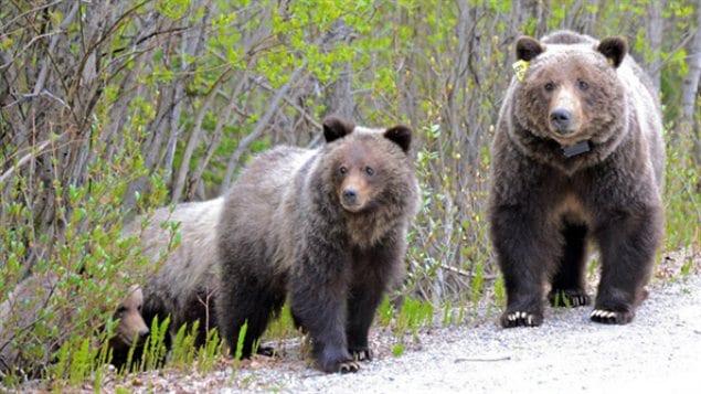 Des grizzlis