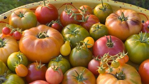 Diffrentes varits de tomates | iStockphoto