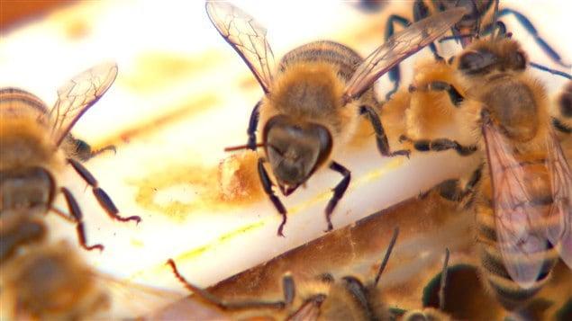 Dans sa vie, une abeille butinera 50 000 fleurs et produira assez de miel pour emplir un dé à coudre.