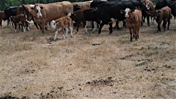 Des éleveurs du Pontiac, durement touchés par la sécheresse, doivent vendre leur troupeau.