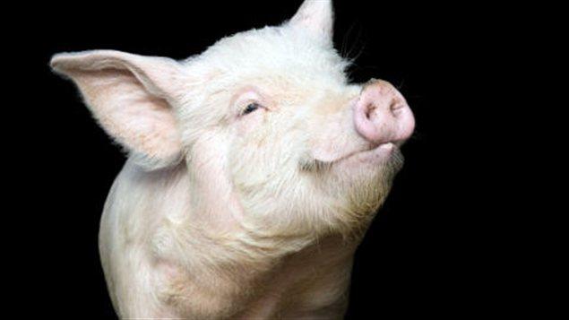 Un porc domestique