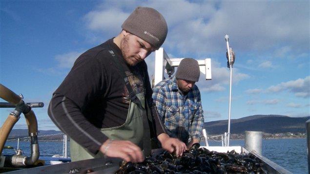 Cueillette de moules dans la baie de Gaspé