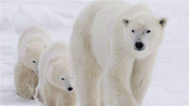 Des ours polaires à Churchill au Manitoba