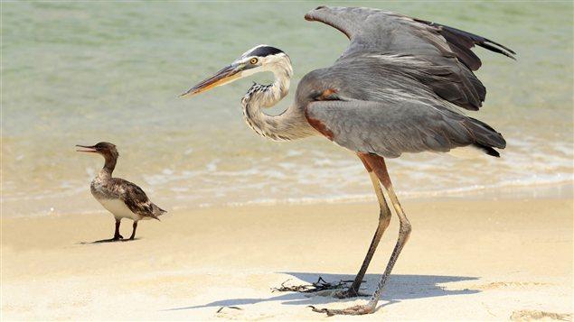 <b>Un harle et un grand héron sur une plage</b> | ©iStockphoto