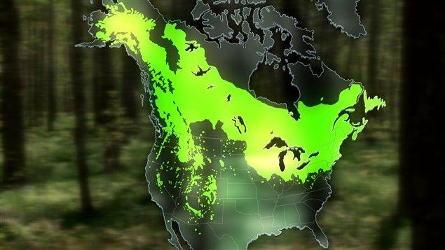 Le peuplier faux-tremble est le seul feuillu dont la distribution s'étend de l'Atlantique au Pacifique.