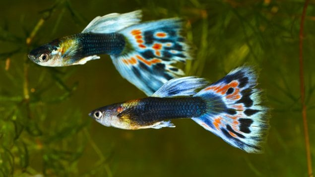 Deux poissons de l'espèce Poecilia reticulata, cousine plus flambloyante de la Poecilia mexicana