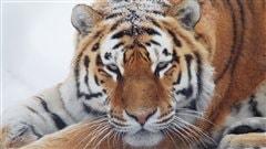 Le tigre l'hiver ©Zoo de Granby