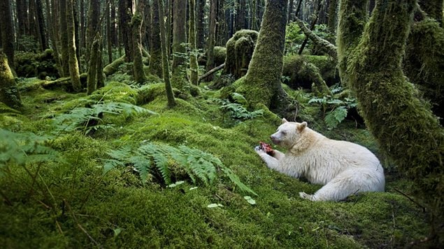 « Spirit of the forest » © Paul Nicklen (Canada), de l'exposition Wildlife Photographer of the Year 2012 au Royal BC Museum