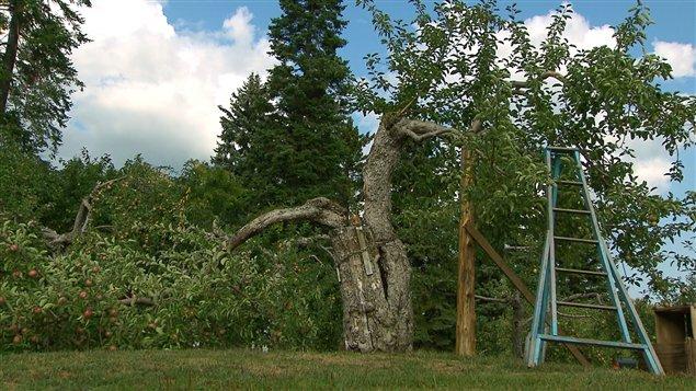 À Franklin, ce pommier McIntosh de cent trente ans s'est cassé trois jours avant la visite de notre équipe.